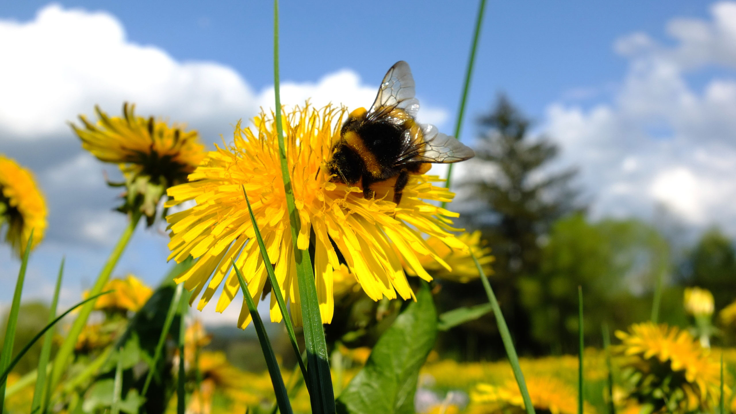 bumble Bee on Dandelion Flower